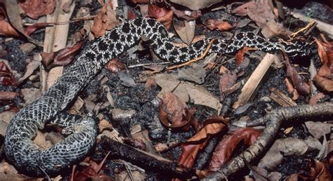 When Do Rattlesnakes Shed Their Skin by Cold Blooded Mothers Volusia Naturalist