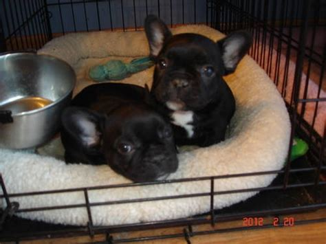 pug puppies for sale in cleveland ohio 111 best images about bulldog on blue bulldogs and