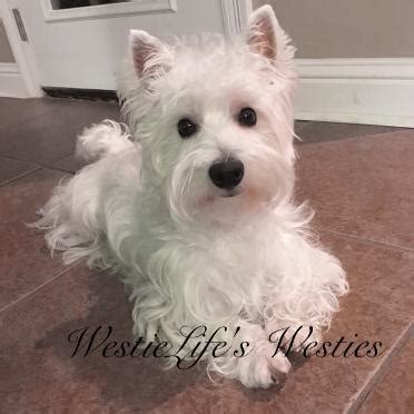 black west highland terrier puppies for sale available westie puppies westielife s westies southeast