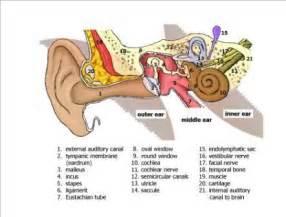 ear labyrinth related keywords suggestions ear