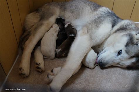 husky puppies for sale in ms introducing s new husky puppies 171 siberian husky puppies for sale siberian