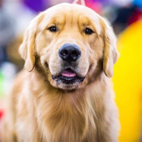 westminster show golden retriever 485 best images about golden retrievers other dogs on lush show and