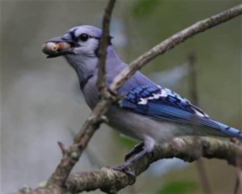 jays airlifting the oaks pennsylvania ebird