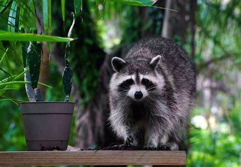 how to get rid of a raccoon in your backyard how to get rid of raccoons bob vila