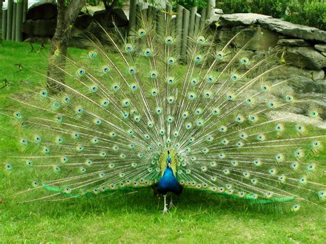 peacock wallpapers desktop wallpapers animals wallpapers flowers wallpapers