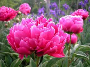 state flower list indiana state flower peony