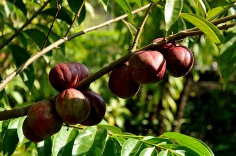edukasi tentang herbal khasiat tanaman mahkota dewa