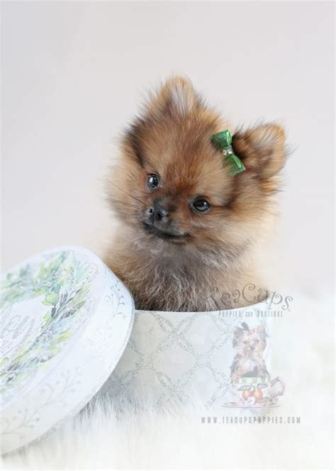 pomeranian teacups for sale tiny teacup pomeranian puppies teacups puppies boutique