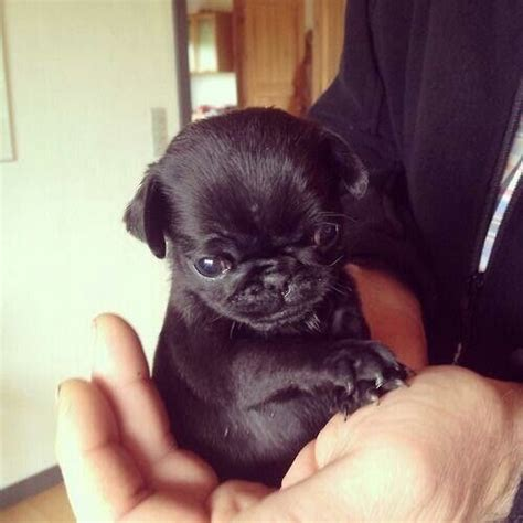 pug baby 25 best ideas about baby black pug on black pug puppy black pug puppies