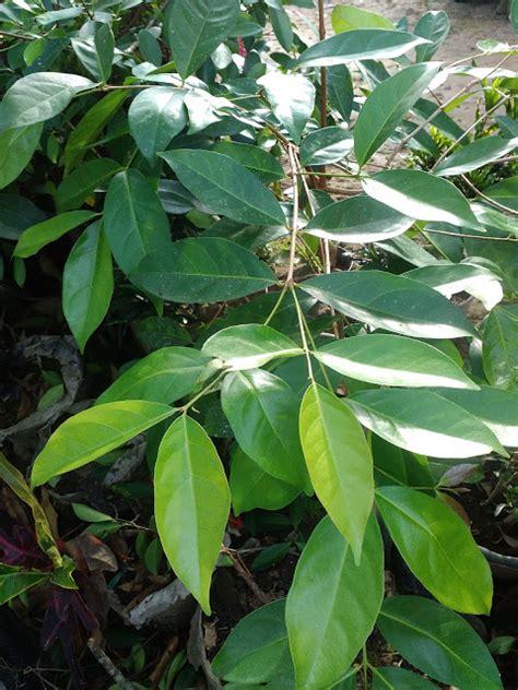 Bibit Daun Salam ciri ciri umum tanaman salam daun salam agroloka