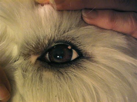 cyst on s eyelid eyelid cyst my 10mo siberian husky developed a cyst on the lower eyelid 1 month