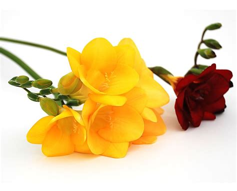 Flowers By Post by Flowers By Post From Guernsey Freesias By Post