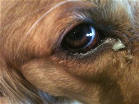 puppy eye boogers eye boogers green excessive how to get rid of
