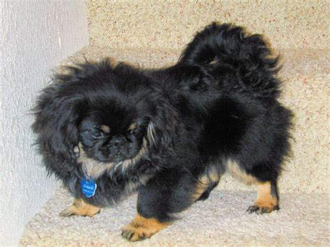 pekingese puppies black pekingese photo and wallpaper beautiful black pekingese pictures