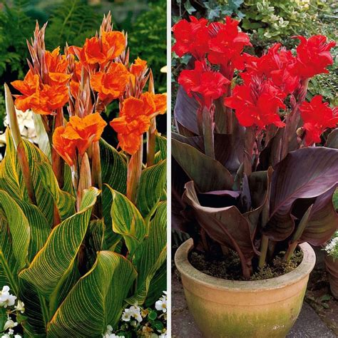 12 best images about dwarf cannas miniature iris on pinterest tropical pitchers sun and tropical