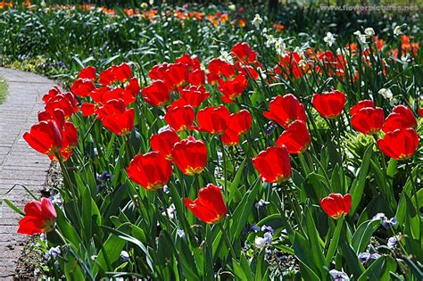 Pictures Of Gardens And Flowers by Pictures Of Flowers Tulips