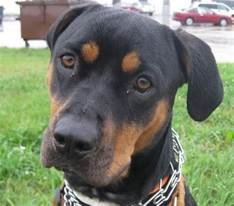 pitbulls with rottweiler markings les 25 meilleures id 233 es concernant pitbull mixed with boxer sur crois 233