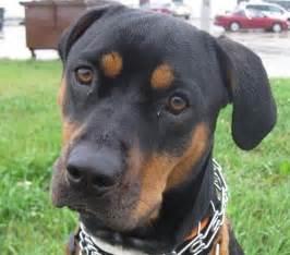 rottweiler markings les 25 meilleures id 233 es concernant pitbull mixed with boxer sur crois 233