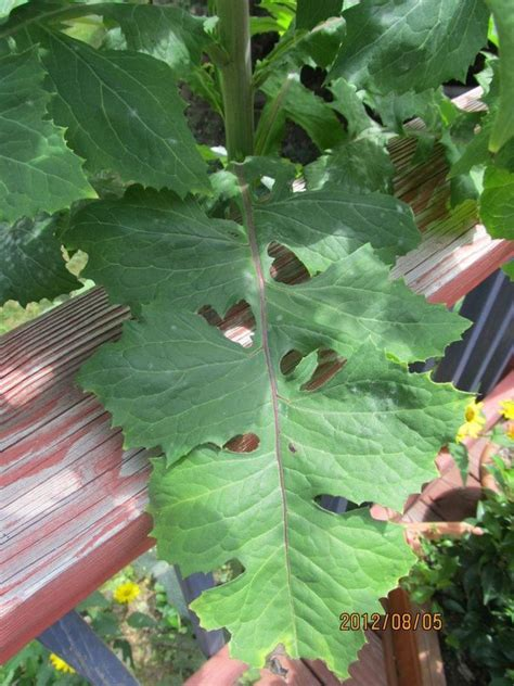 weeds in the backyard 4 feet tall very tall plant large leaves flowers forums