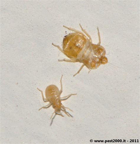 Clear Bed Bugs cast skins are clear 171 got bed bugs bedbugger forums