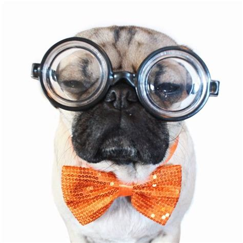 doug the pug college 443 best images about doug the pug on and the tr and