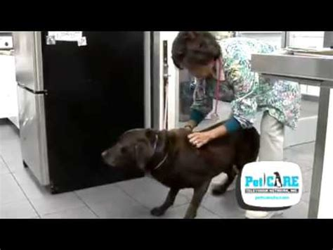 degenerative disc disease in dogs how to handle and care for a with ivdd how to carry up and move a