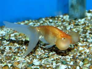 Fancy Goldfish ? Fish, Tanks and Ponds