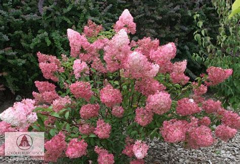 rispenhortensie wims pin hydrangea paniculata limelight on