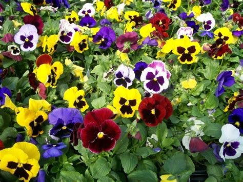 fall flowers for garden cool season flowers for your fall garden snaplant