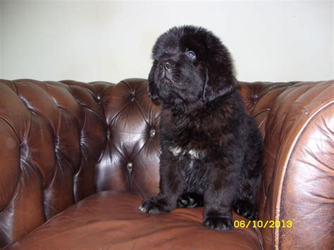 newfie puppies for sale newfoundland puppies for sale ebbw vale blaenau gwent pets4homes