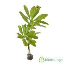 Bibit Ginseng Jawa tanaman ginje