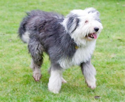 sheepdog puppy file sheepdog nana jpg