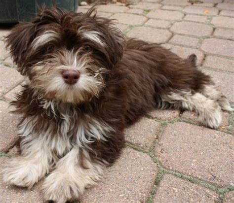 havanese grown image gallery havanese dogs