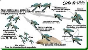 imagenes de ciclo de vida de la tortuga el ciclo de vida de nuestras amigas s o s tortugas