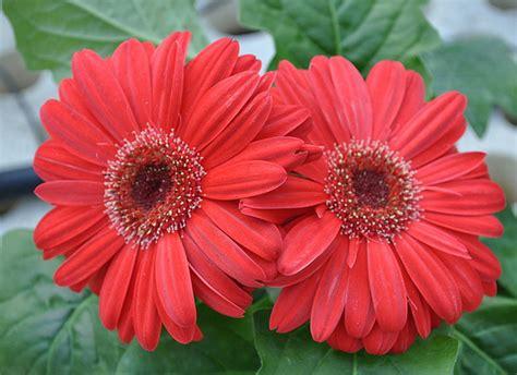 fiori gerbere fiori ringraziare con le gerbere rosse