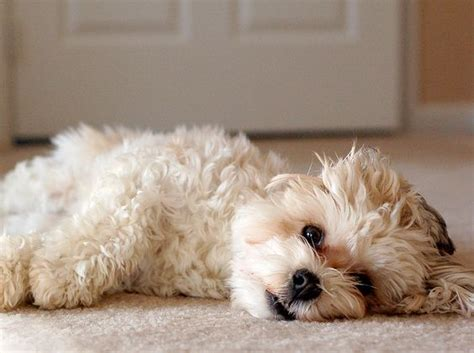 havanese puppy behavior problems related keywords suggestions for havanese puppy