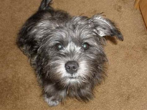havashire wiki yoranian breed haircuts a photo of a 2yr old old multi