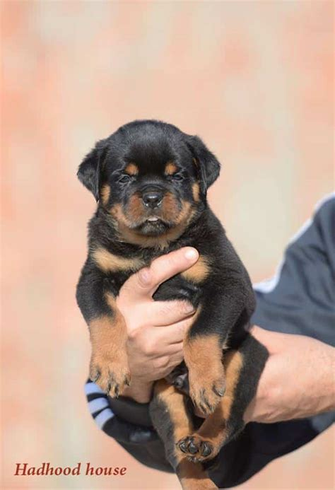 how do rottweilers live for 13 reasons not to get a rottweiler