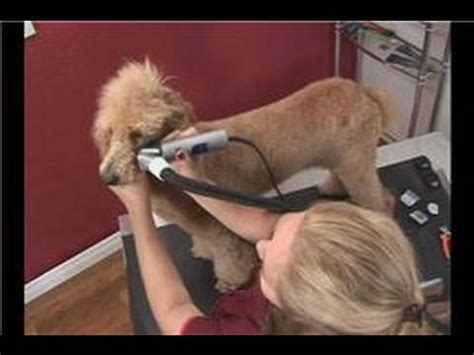 poodle dog grooming poodle dog grooming face shaving