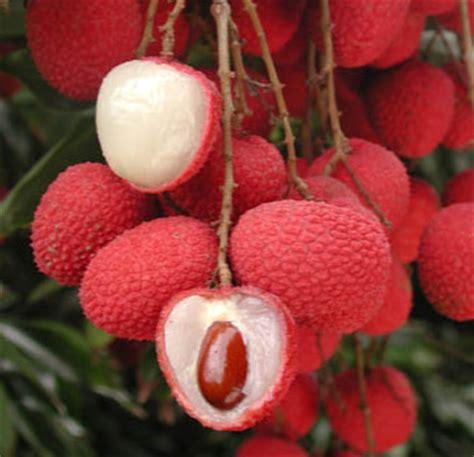 Bibit Rambutan Binjai Asli buah leci kom jualbenihmurah