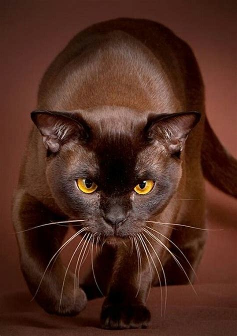 cat breeders burmese cat breeders in the united states available