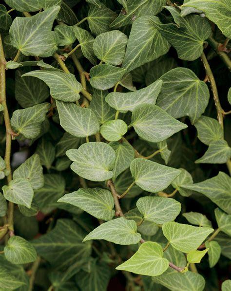 english ivy teardrop english ivy hedera helix proven winners