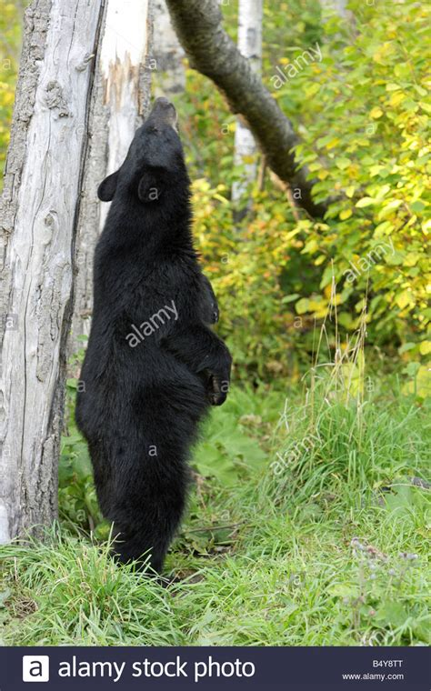 how to your to stand on hind legs black ursus americanus standing upright erect on its hind legs stock photo