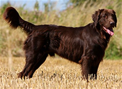 flat coated retriever mix puppies for sale photos new breeds of dogs breeds guard breeds breeds picture