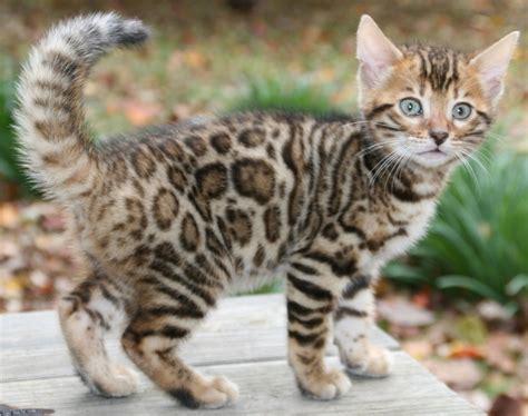 bantal cat bengal kitten bengals