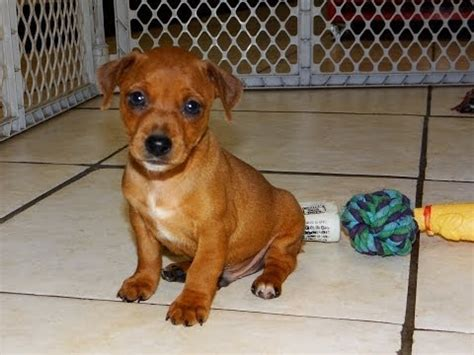 puppies for sale laredo tx miniature dachshund puppies for sale in san antonio tx pasadena