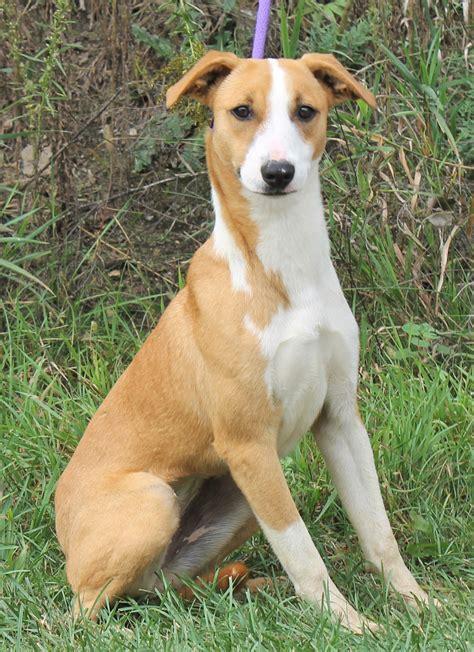 puppies for adoption wi view ad australian shepherd mix for adoption wisconsin mukwonago