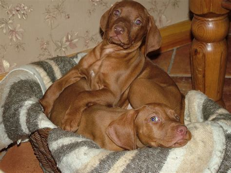 vizsla puppies for sale in michigan hungarian vizsla puppies for sale