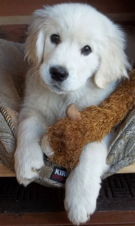 luxury puppies picture 6 of 35 white golden retriever puppies luxury top 12 foods your should