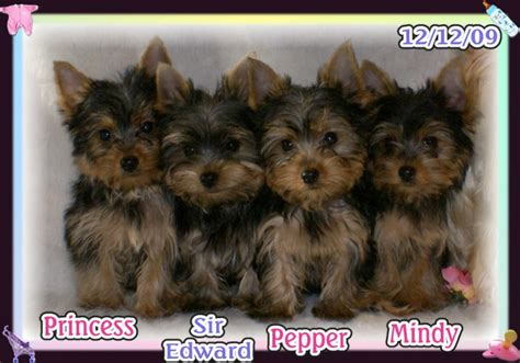 yorkie puppies nc yorkie pups available nc breeder carolina